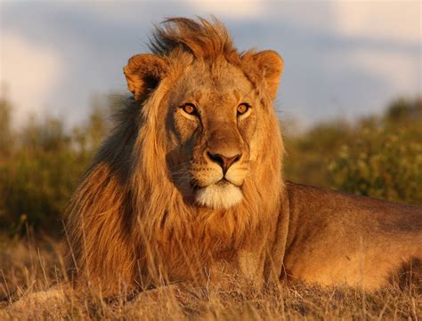 The Lion Interesting Facts About King Of Jungle