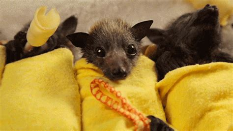 Baby Bat Burritos are Deliciously Cute Featured Creature