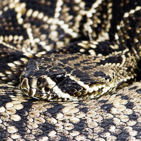 biggest eastern diamondback rattlesnake eastern