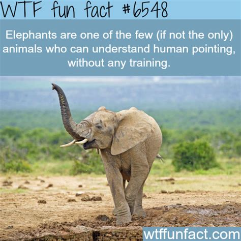 interesting facts about animals endangered elephants