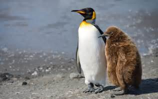Adult King Penguin (Aptenodytes patagonicus) and chick King Penguin