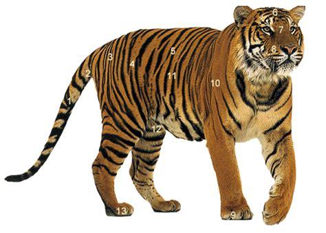 Tiger facts photos and videos, siberian tiger, bengal
