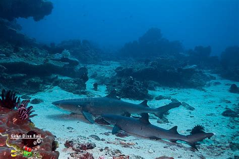 Padang Bai dive sites: scuba in Blue Lagoon, Jepun & Shark