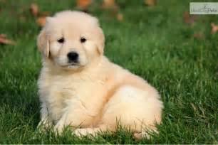 Golden Retriever Puppies Desktop Wallpaper Wallpaper, High