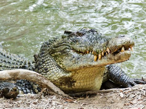 Alligator in water animals images, Pics Wallpapers