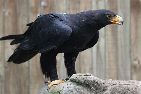 Verreauxs Eagle The African Bird of Prey Sanctuary