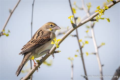 Dickcissel (Spiza americana) The Roger Tory Peterson