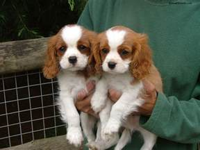 Cavalier King Charles Spaniel Pictures, Information, Temperament