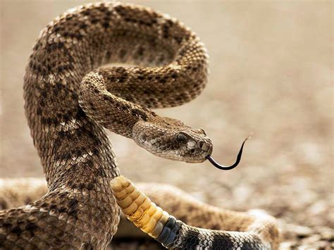 Mrs Remis' Science Blog 5th Grade: DIAMONDBACK RATTLE