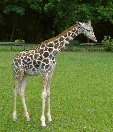 Picture 3 of 11 Giraffe (Giraffa Camelopardalis