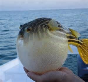 animal, cute, fat, fish image #654254 on Favimcom
