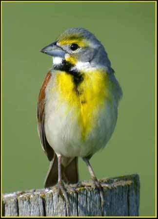 Dickcissel South Dakota Birds and Birding