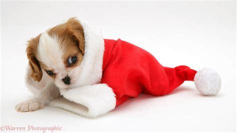 Dog: King Charles puppy in a Santa hat photo WP10676