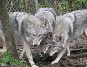Meet the 'coywolf' a hybrid of a wolf and a coyote which