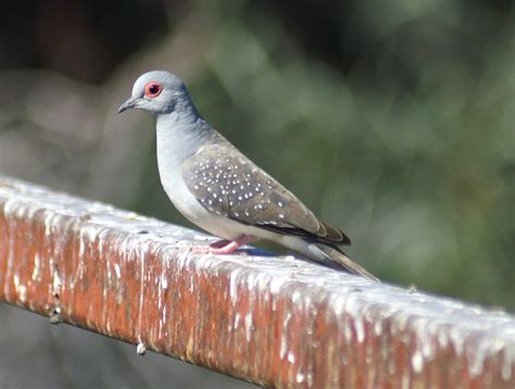 Diamond Dove Canberra Birds
