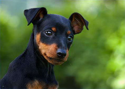 Best Of Types Of Small Dogs Breed World Of Dog