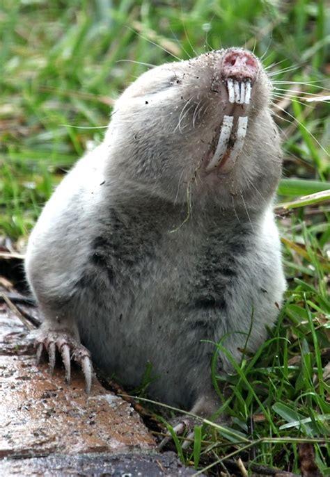 Cape Mole Rat