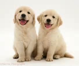 registered golden retriever female puppydog golden retriever puppy