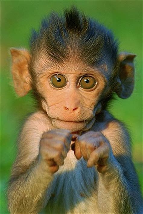 HD Animals Wallpapers: Smiling Monkey Pictures, Baby