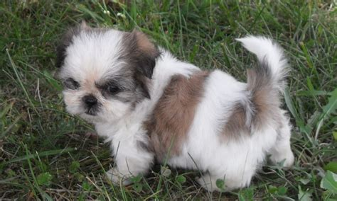 Cute Shih Tzu Puppies Pictures and Photos Shih Tzu Dogs