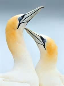 Gannet Bird Pictures Gannet Sea Bird