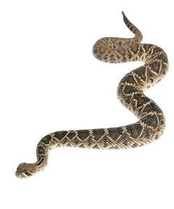 Eastern Diamondback Rattlesnake Snake Facts