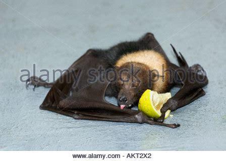 Pteropus vampyrus fijian fruitbat flying fox lying down