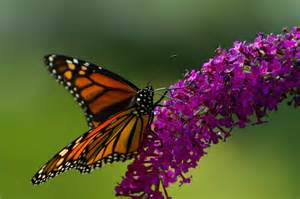 Plants to Attract Monarch Butterflies BBBseed Wildflower