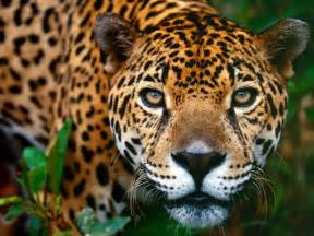 Animal Free Wallpapers: Animal Jaguar Free Wallpapers