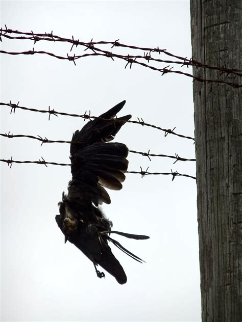 Dead Crow on Barbedwire up close by fuguestock on DeviantArt