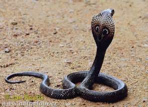 Indian Cobra Pictures, Indian Cobra Images NaturePhoto