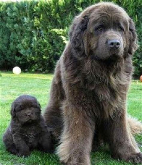 10 Amazing dogs that look like bears