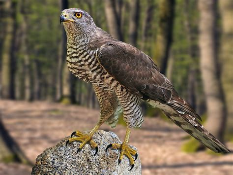 Northern Goshawk Bird Accipiter Gentilis Hd Wallpapers For