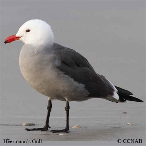 Gulls North American Birds Birds of North America