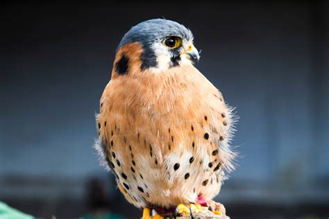 All the Different Species of Falcons Found Around the World