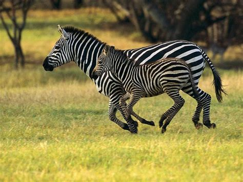 Animals of Africa images Zebras Running Free HD wallpaper