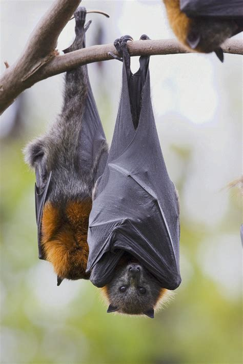 Grey headed Flying Foxes, Australia Pteropus
