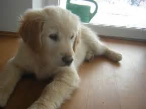 File:Golden Retriever Puppy 12weeksJPG Wikimedia Commons