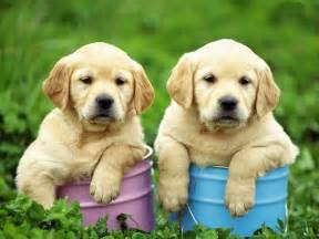 Two cute Golden Retriever puppies photo and wallpaper Beautiful