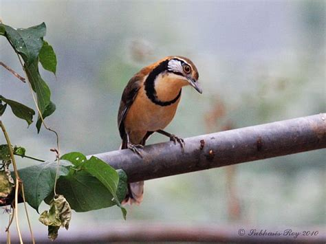 Animals World: wallpapers of different laughing thrush