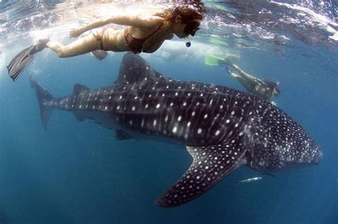 Frighteningly beautiful: Swim with whale sharks around the