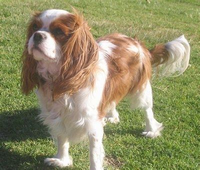 Daphne the Cavalier King Charles Spaniel is standing outside in grass