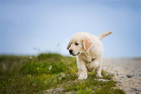 Wallpaper Labrador Retriever, Puppy, Dog, HD, 4K, Animals