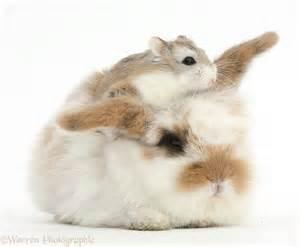 Cute baby bunny and Roborovski Hamster photo WP40564