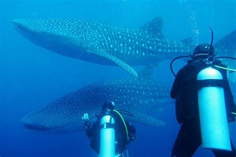 Diving with Whale Sharks in Sulawesi, Indonesia