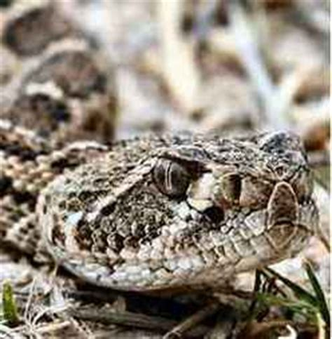 Western Diamondback Rattlesnake Snake Facts