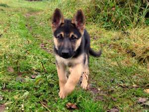 German Shepherd Puppies MustKnow Information!  Inside