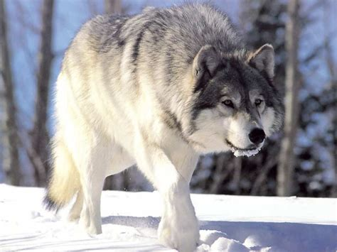Wolf in the Snow Winter Snow Wallpapers