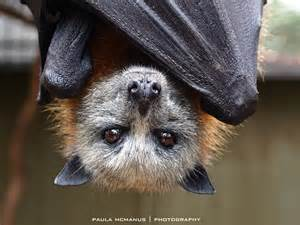Flying Foxes in Botanic Park Adelaide