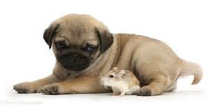 Pug puppy and Roborovski Hamster photo WP41981